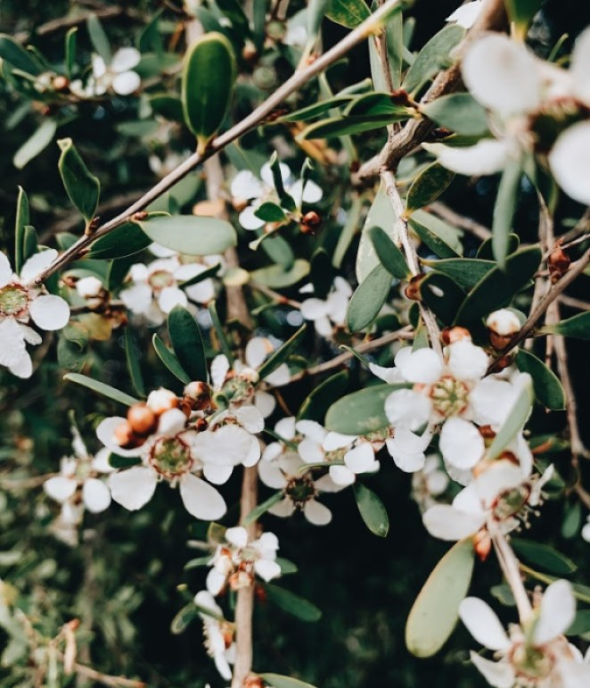 A close up of a waxflower bush. The petals are white and the leaves are dark green.